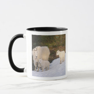 mountain goats, Oreamnos americanus, mother and Mug