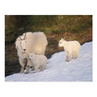 mountain goats, Oreamnos americanus, mother and Postcard