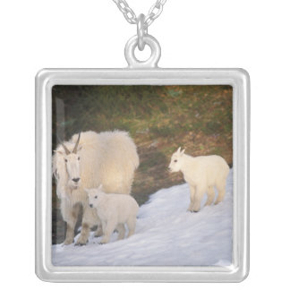 mountain goats, Oreamnos americanus, mother and Silver Plated Necklace