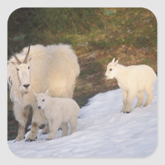 mountain goats, Oreamnos americanus, mother and Square Sticker