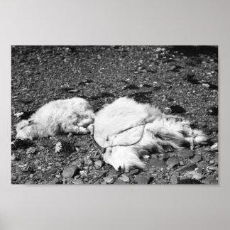 Mountain Goats Ready for Transplant on Kodiak Print