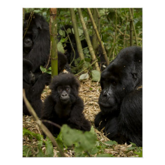 Mountain Gorilla, adult with young 2 Poster