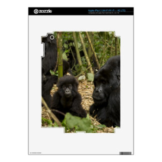 Mountain Gorilla, adult with young 2 Skins For iPad 3