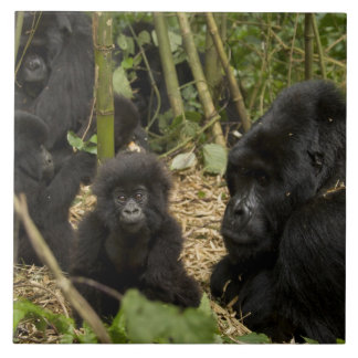 Mountain Gorilla, adult with young 2 Tile