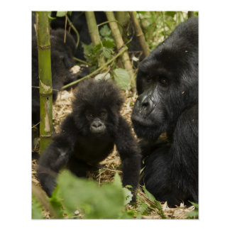 Mountain Gorilla, adult with young Posters