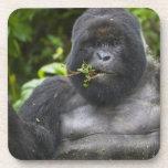 Mountain Gorilla and aging Silverback Beverage Coaster
