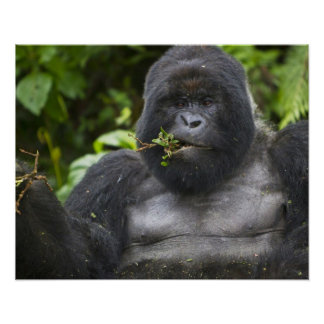 Mountain Gorilla and aging Silverback Poster