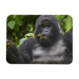 Mountain Gorilla and aging Silverback Rectangular Photo Magnet