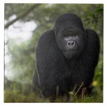 Mountain Gorilla and Silverback 3 Tile