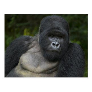 Mountain Gorilla and Silverback 5 Postcard