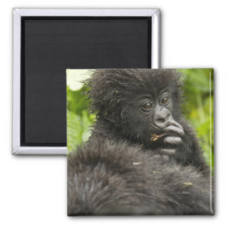 Mountain Gorilla, baby riding on mothers back 2 Inch Square Magnet