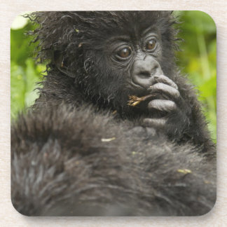 Mountain Gorilla, baby riding on mothers back Beverage Coasters