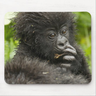 Mountain Gorilla, baby riding on mothers back Mouse Pad