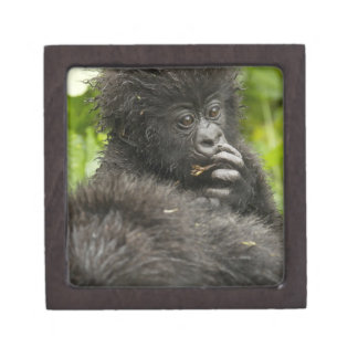 Mountain Gorilla, baby riding on mothers back Premium Gift Boxes