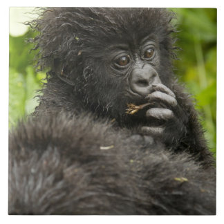 Mountain Gorilla, baby riding on mothers back Tile