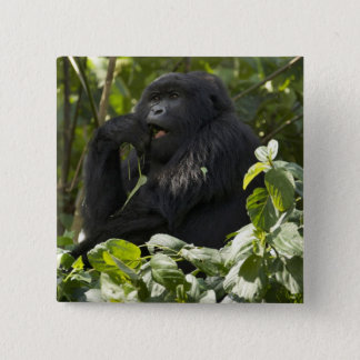 Mountain Gorilla, blackback, eating Button