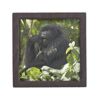 Mountain Gorilla, blackback, eating Premium Trinket Boxes