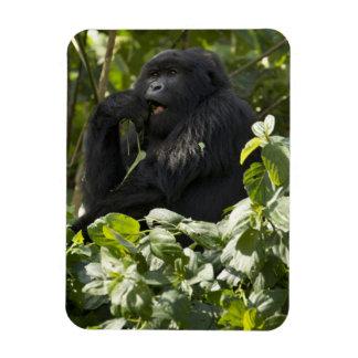 Mountain Gorilla, blackback, eating Rectangular Photo Magnet