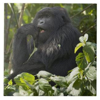 Mountain Gorilla, blackback, eating Tile