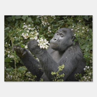 mountain gorilla eating flowers lawn signs