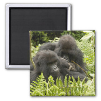 Mountain Gorilla, family in day nest 2 Inch Square Magnet