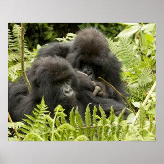 Mountain Gorilla, family in day nest Poster