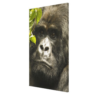 Mountain Gorilla, Gorilla beringei beringei, Canvas Print