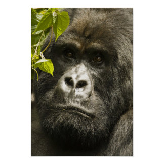 Mountain Gorilla, Gorilla beringei beringei, Posters