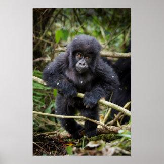 Mountain Gorilla (Gorilla Beringei Beringei) Poster