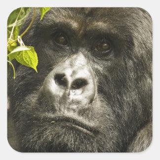 Mountain Gorilla, Gorilla beringei beringei, Square Sticker