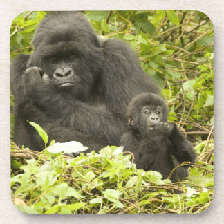 Mountain Gorilla, Gorilla beringei (formerly G. Beverage Coaster