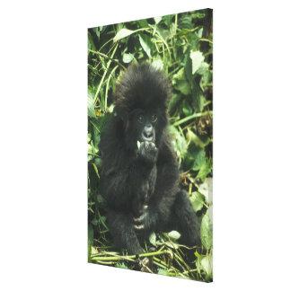 Mountain Gorilla, (Gorilla gorilla beringei), Canvas Print