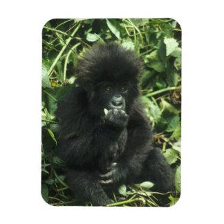 Mountain Gorilla, (Gorilla gorilla beringei), Rectangular Photo Magnet