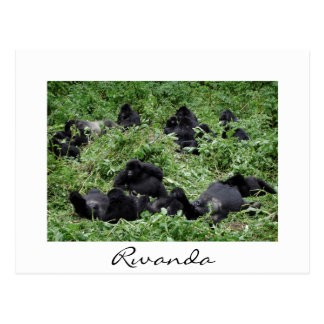 Mountain gorilla group white border postcard