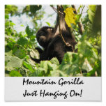 Mountain Gorilla Just Hanging On! Posters