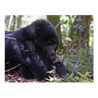 Mountain Gorilla Postcard