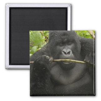 Mountain Gorilla, using tools 2 Inch Square Magnet