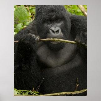 Mountain Gorilla, using tools Poster