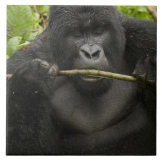 Mountain Gorilla, using tools Tile