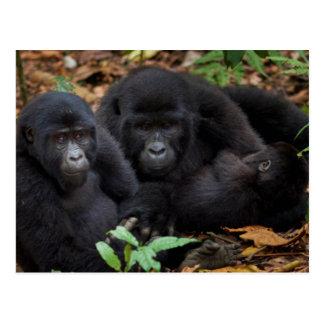 Mountain Gorillas, Volcanoes National Park Postcard