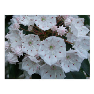 Mountain Laurel Blossoms Postcard