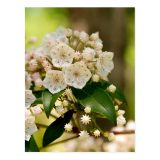 Mountain Laurel in bloom Post Card