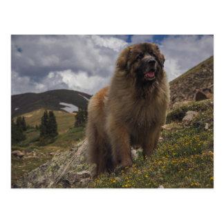 Mountain Leonberger Postcard
