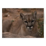Mountain Lion 1 Cards