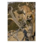 Mountain Lion, aka puma, cougar; Puma concolor, 2 Card