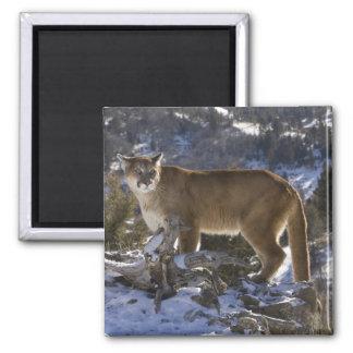 Mountain Lion, aka puma, cougar; Puma concolor, 2 Inch Square Magnet