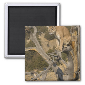 Mountain Lion, aka puma, cougar; Puma concolor, 2 2 Inch Square Magnet