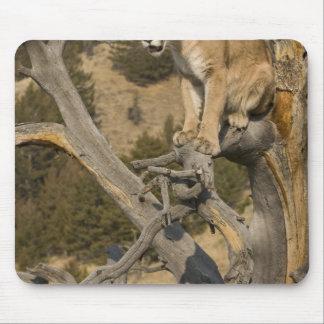 Mountain Lion, aka puma, cougar; Puma concolor, 2 Mouse Pad