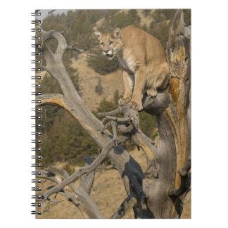 Mountain Lion, aka puma, cougar; Puma concolor, 2 Note Books