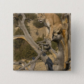 Mountain Lion, aka puma, cougar; Puma concolor, 2 Pinback Button